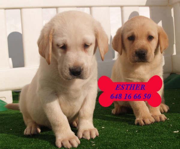 Labrador - Perros - Venta Mascotas