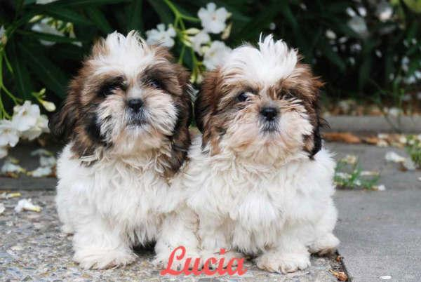 Imagenes de perros shih tzu - Imagui