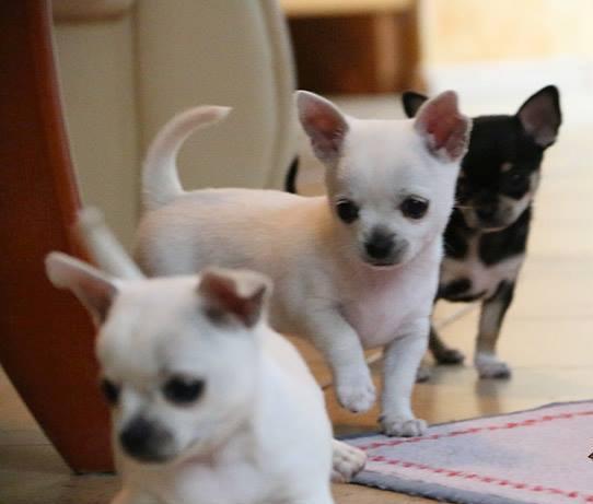 Regalo cachorro di chihuahua chihuahua perros venta for Regalo a chi