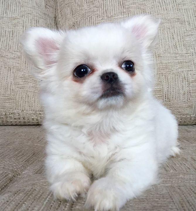 Regalo chihuahua toy de bolsillo chihuahua perros for Regalo a chi